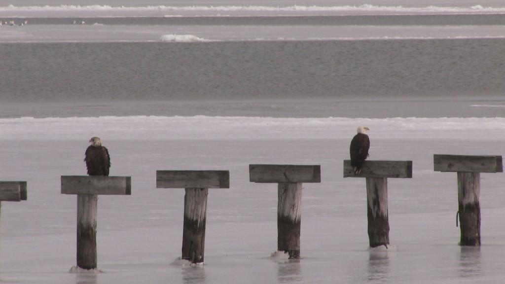 bald-eagles-eastern-bay-md